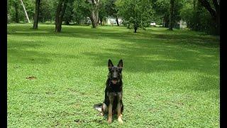 Houston Affordable Dog Training - Tazer