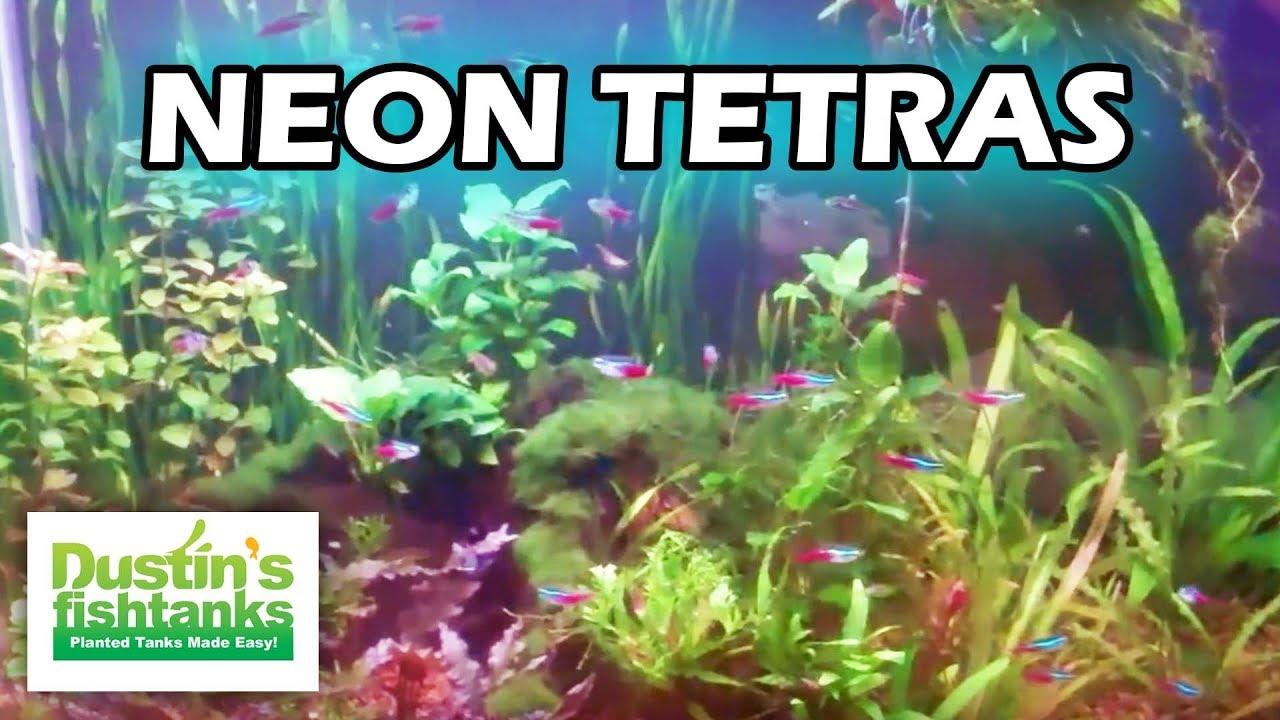 Freshwater aquarium fish neon - How To Keep Neon Tetras In A Planted Tank Neon Tetras Species Sunday Youtube