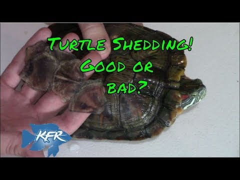 Turtle Shedding It S Shell Good Or Bad Reasons Why They Do