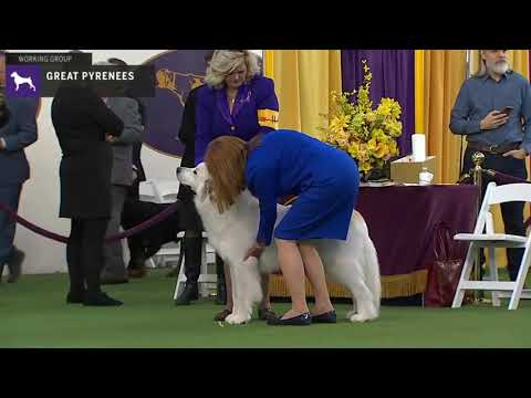 Great Pyrenees | Breed Judging 2020