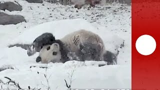 Panda-monium: Giant panda frolics in Toronto snow