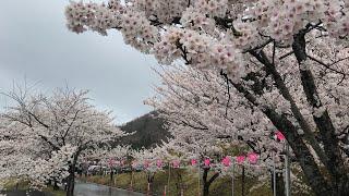 日本一周女ひとり旅267日目。新潟県の道の駅国上で桜と足湯Live