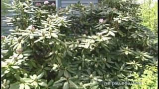 3 Minute Gardener - Rhododendrons