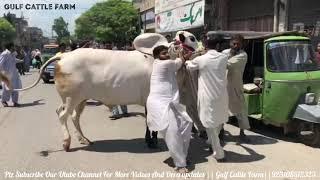 PRINCE2🔥🔥||Unloading Video||Athra Dand||Geo Wacha||king Of Bulls||Masha Allah|Home qurbani|Ch Atta