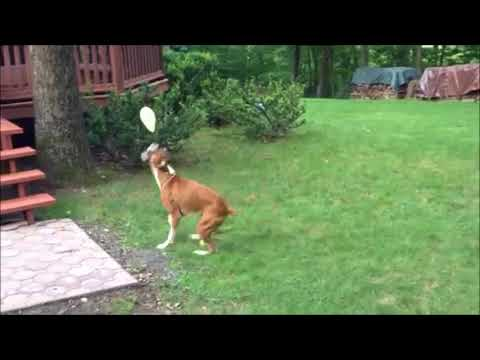 Cute Dog Playing with Balloon the balloon dog