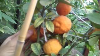Mandarynka doniczkowa cały czas z owocami