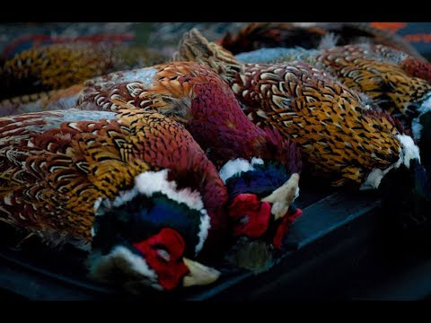 Late Season South Dakota Pheasants