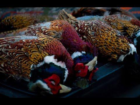 Late Season South Dakota Pheasants