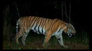 Tiger : Wild Indochinese Tigers in Thailand