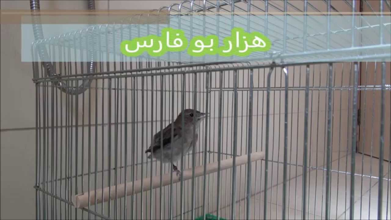 هزار بلابل بو فارس