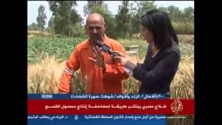 فلاح مصري يبتكر طريقة لمضاعفة إنتاح محصول القمح