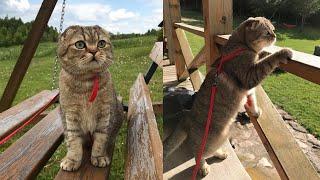 Scottish Fold Cat Breed # 5