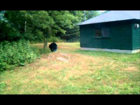 Bear at Allegany State Park NY  YouTube