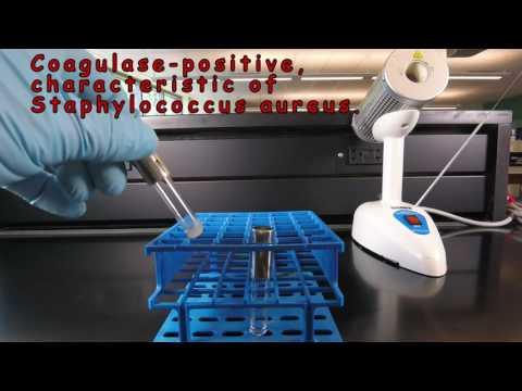 Coagulase Test for Staphylococcus