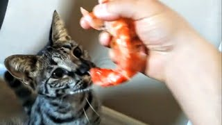 F1 Savannah Cat ~ VERSACE'S Birthday ~ Devours 3 Colossal Shrimp 🍤 !