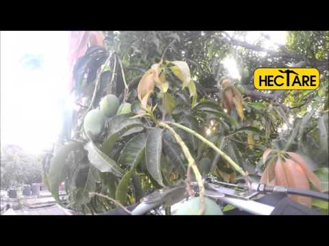 Mango Picking Machine: Hectare