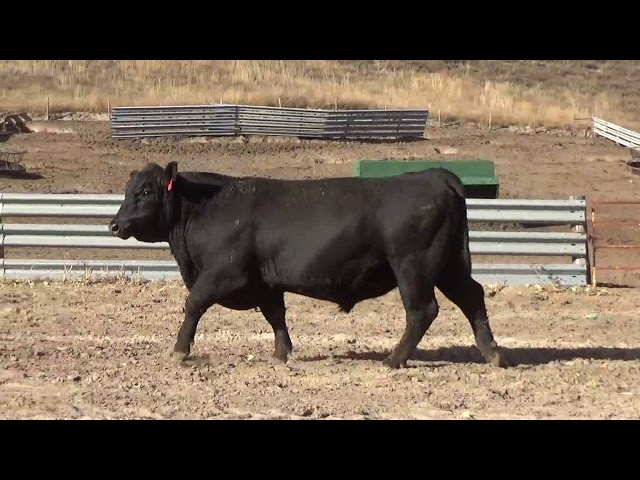 Connealy Angus Lot 225