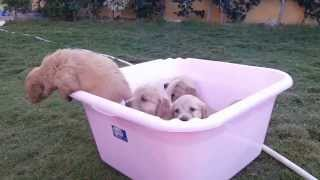 puppies crying and jumping