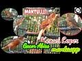 Kenarigacor Kenariloper Suara Pancingan Kenari Lokal Super Loper  Mp3 - Mp4 Download