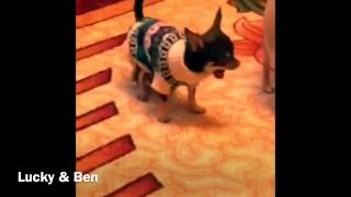 Cute little puppy Chihuahua playing with his brother !!!