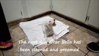 Up Date On Bella The Story Of Unbelievable Will And Courage Maltese Rescue California