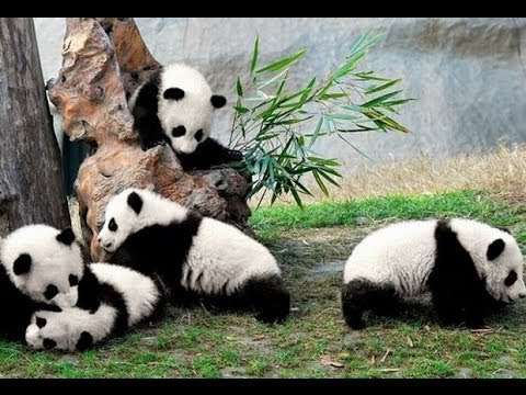Baby pandas being trained in China lovely Animals animales encantadores mascota