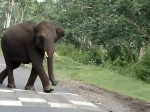 Wild Elephant Attack Mudumalai Forest Karnataka