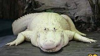 США. GATORLAND, Крокодиловая Ферма, АЛЛИГАТОРЫ во Флориде, Часть 1