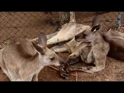 #3 Wyprawa do Lone Pine Koala Sanctuary z Australijskimi Sokołami