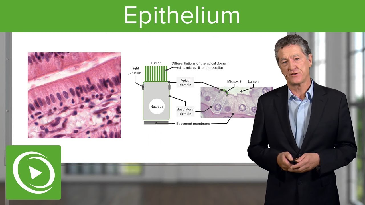 Epithelium – Histology | Lecturio