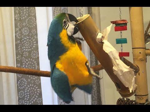 Foraging Parrot: Diego's new Bamboo Toy (Ara Ararauna a bambusova hracka)