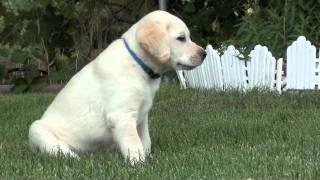 Yellow Male Labrador Retriever - 8 Weeks Old