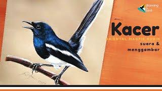 Cara Menggambar Burung Kacer Agar Seperti FOTO! | Crazy Skill Drawing Oriental Magpie Robin