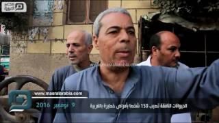 مصر العربية | الحيوانات النافقة تصيب 150 شخصا بأمراض خطيرة بالغربية