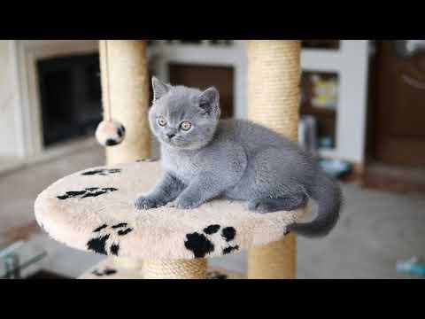 Британский котик Джаспер в возрасте 8 недель