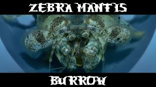 Zebra Mantis Burrow