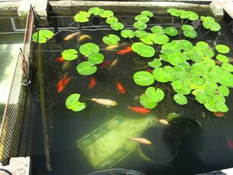 how to make a koi pond in your backyard