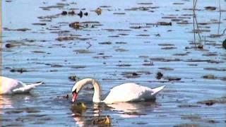 KNÖLSVAN  Mute Swan  (Cygnus olor)   Klipp - 460