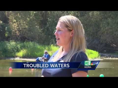 Trout Population Down 75% In Stanislaus River