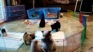 Pomeranian Puppies Playing