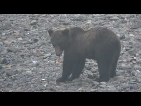 Медведь   ЧУЖАК
