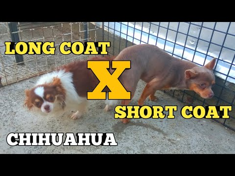 CHIHUAHUA MATING | BREEDING SMALLEST DOGS