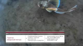Тригла (морской петух) / Chelidonichthys lucerna