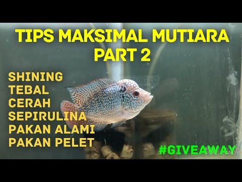 giveaway-|-tips-mutiara-ikan-louhan-part-2-|-dari-farm-starlite-|-vlog-eiknumoto