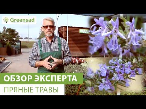 Пажитник сенной – выращивание и полезные свойства