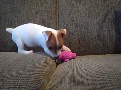 """jack-russell-terrier-puppy-""""pip""""-playing-with-his-toy"""