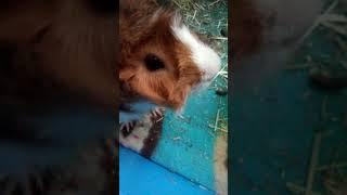Genuine pig cam 3