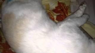 Кот под наркозом (после кастрации)