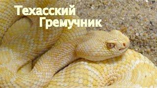 Техасский Гремучник Опасные Змеи