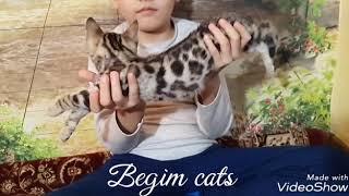 Продается котенок бенгальской породы кошек
